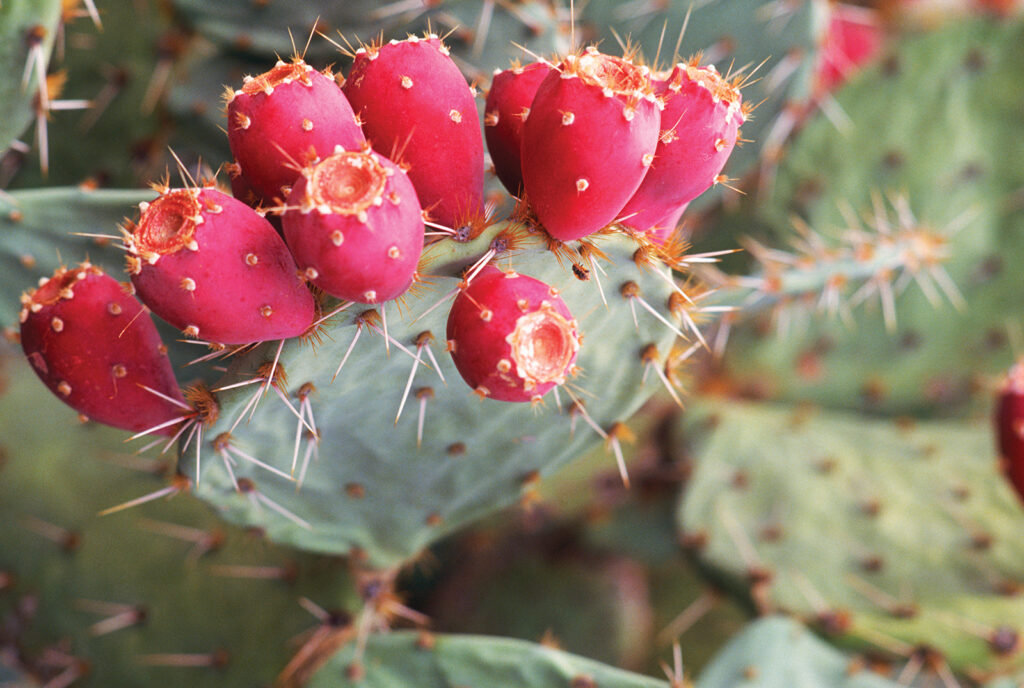 Prickly-pear-cactus-Arizona